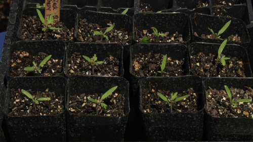In the Garden:  Starting Seeds and Transplanting Plants