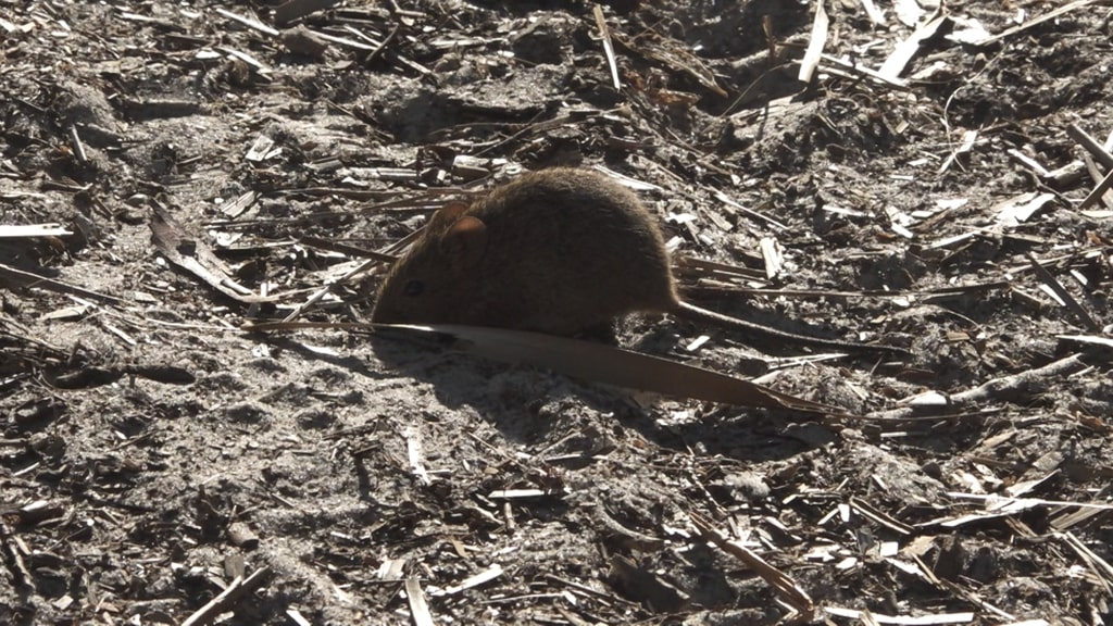 A rodent standing on dirt.