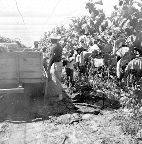 An old photo of group of workers in a shade tobacco field