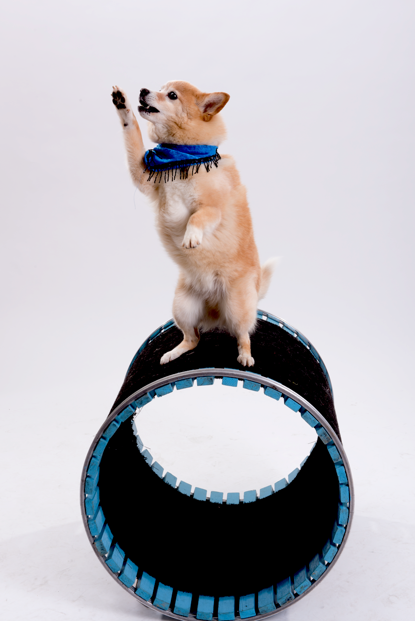 A dog holding a blue frisbee in it s mouth