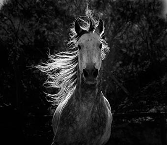 Close up of a horse in black and white