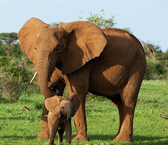 Picture of an elephant with her calf