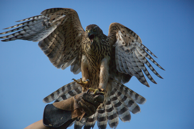 a hawk squawking