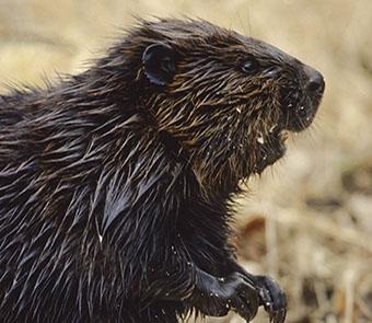 A beaver outside of its dam