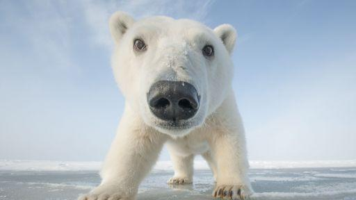 A polar bear up close!