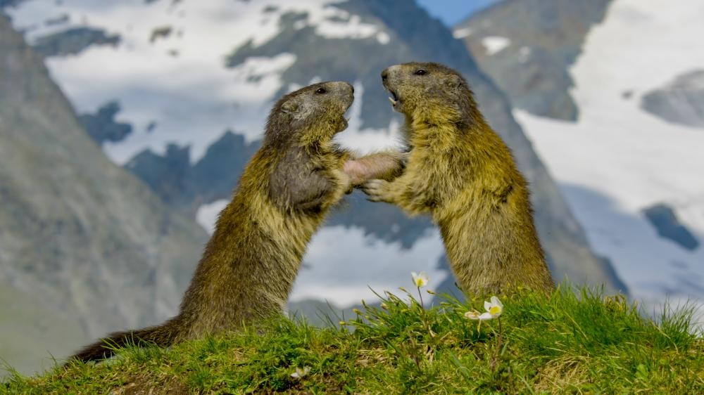 two small animals (badgers or gophers) on hind legs in front of snowy mountain