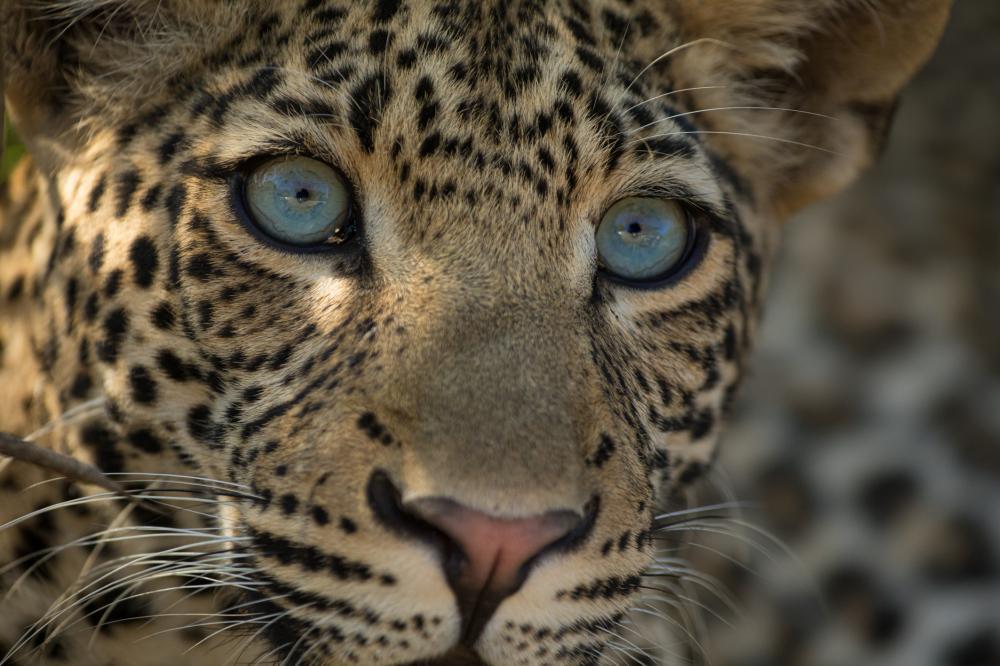 A closeup ofa leopard