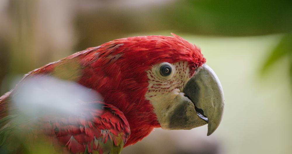 A beautiful red bird looking at the camera