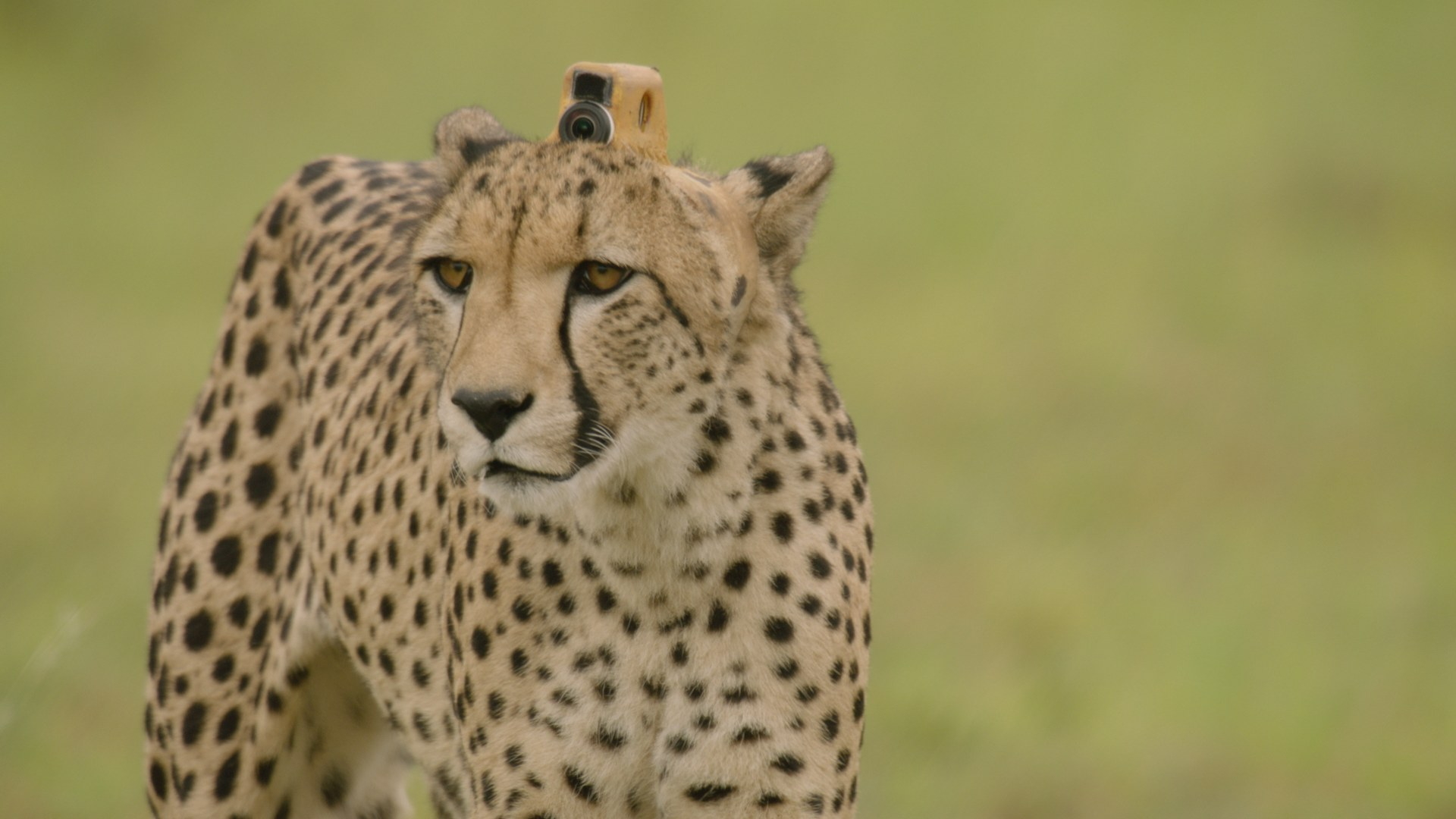 A cheetah fitted with a special camera